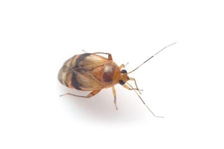 Heteroptera_2