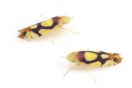 Oniella_leucocephala