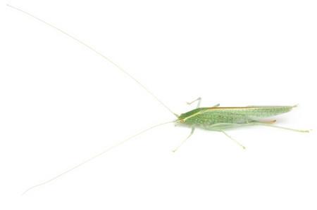 Leptoteratura_albicornis