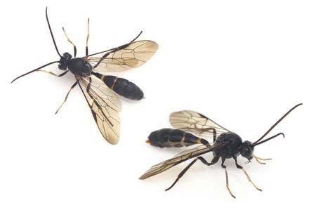 Hymenoptera2