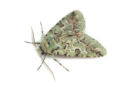 Daseochaeta_viridis