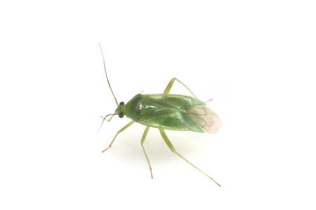 Lygocoris_pabulinus