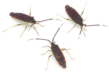 Pentatomoidea