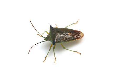 Acanthosoma_expansum