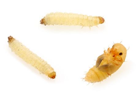 Carpophilus_truncatus_larve