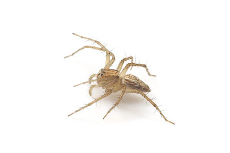 Oxyopes_salticus