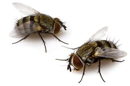 Tachinidae1