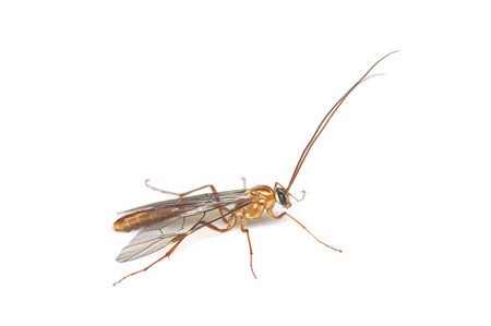 Icheumonidae
