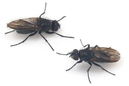Diptera_2