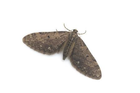 Eupithecia_sp