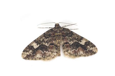 Pseuderannis_amplipennis