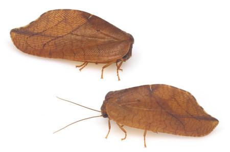 Repanepteryx_phalaenoides