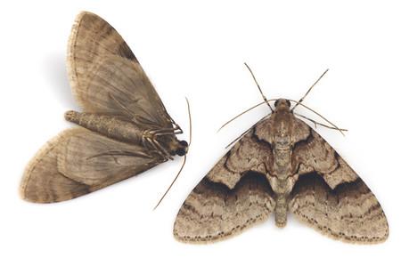 Trichopteryx_ustata