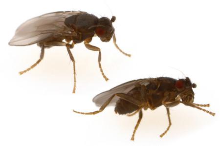 Sphaeroceridae_2