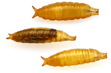 Sphaeroceridae_pupa