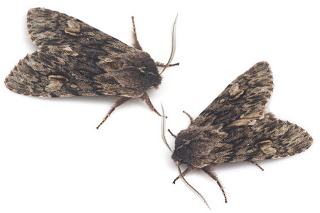 Brachionycha_nubeculosa