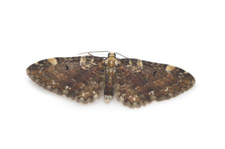 Eupithecia_nagaii