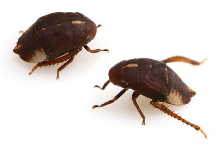 Cicadellidae001