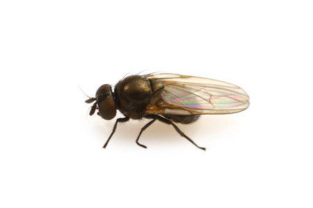 Milichiidae