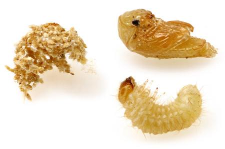 Lasioderma_serricorne_larve