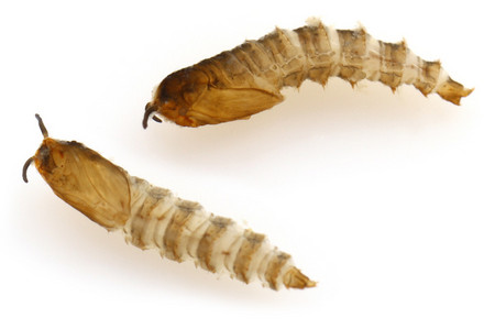 Tinearia_alternata_pupa_2