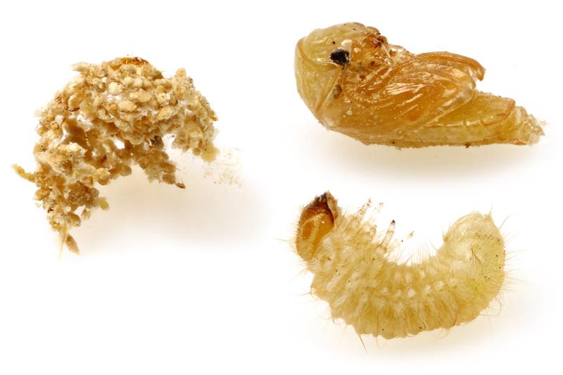 愛と憎しみのタバコシバンムシ Lasioderma serricorne (Fabricius ...
